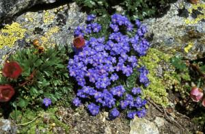 Alpine Flora im Avers (GR): Blumenwanderungen zu Himmelsherold, Edelweiss & Co.