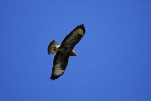 Vogelzug am Hahnenmoospass (BE)