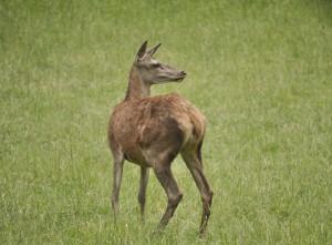 Röhrende Hirsche im Nationalpark (GR)