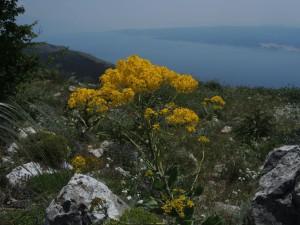 Kroatien: Blumenwandern an der Adria