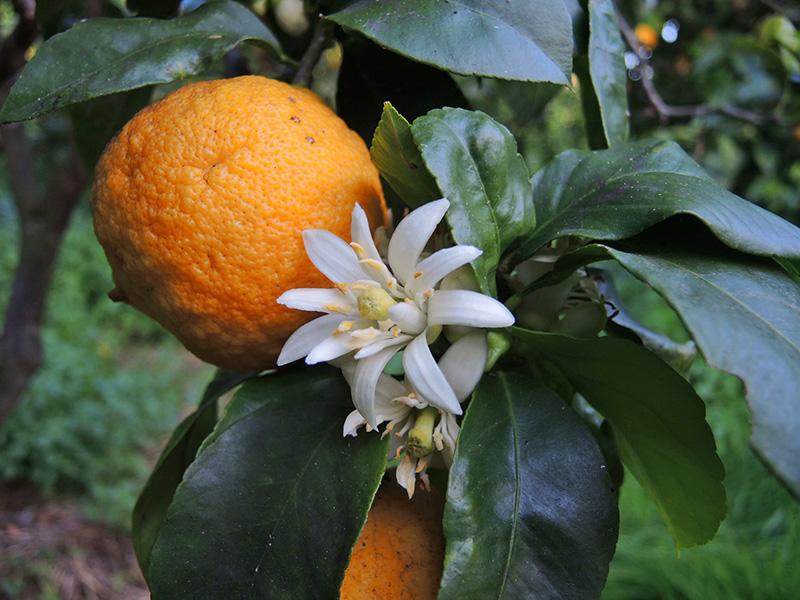 058_Bergamotte_Citrus_bergamia